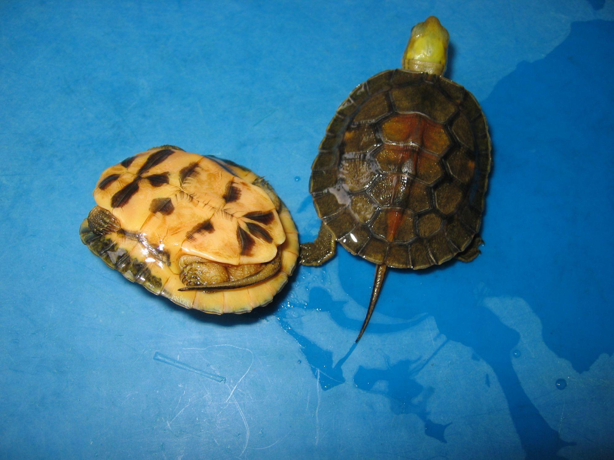 金头闭壳龟饲养环境
