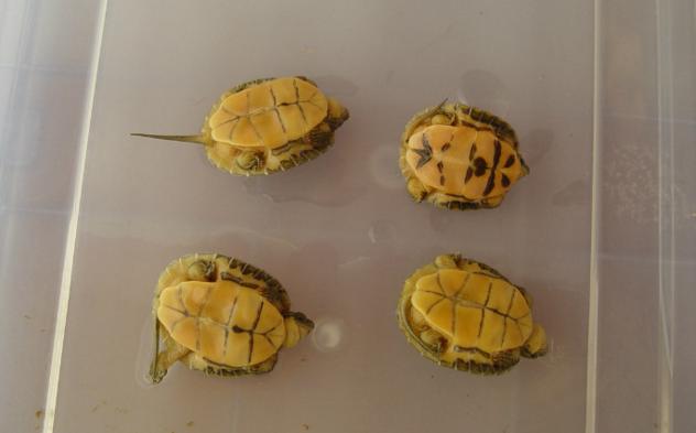 金头闭壳龟如何喂养 金头闭壳龟如何养