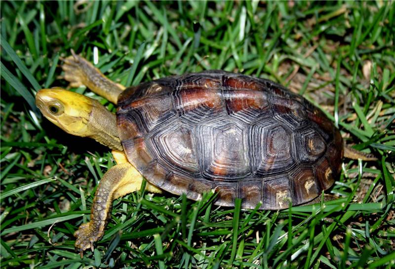 金头闭壳龟是水龟吗