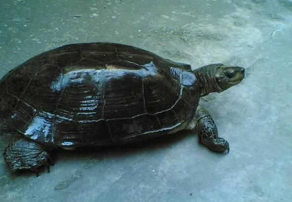 缅甸黑山龟吃什么 缅甸黑山龟吃啥