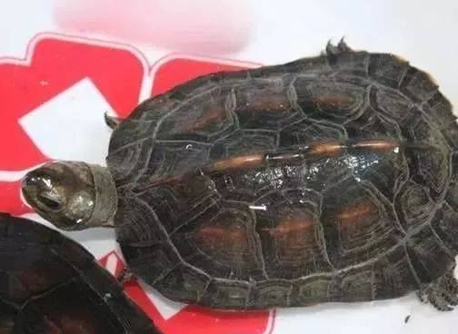 缅甸山龟和黑山龟区别