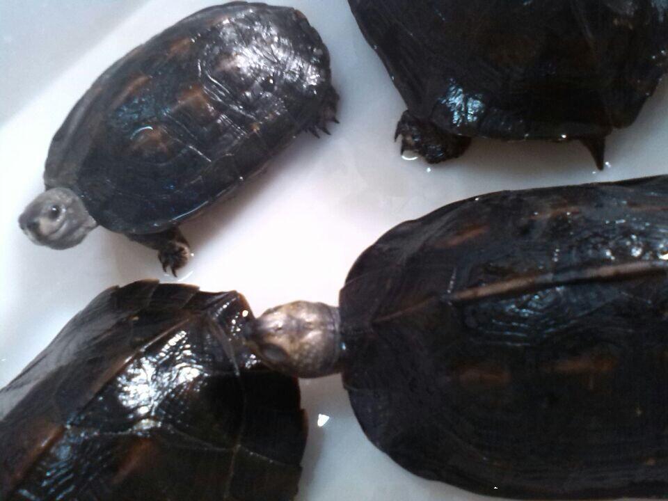 缅甸黑山龟怎么养