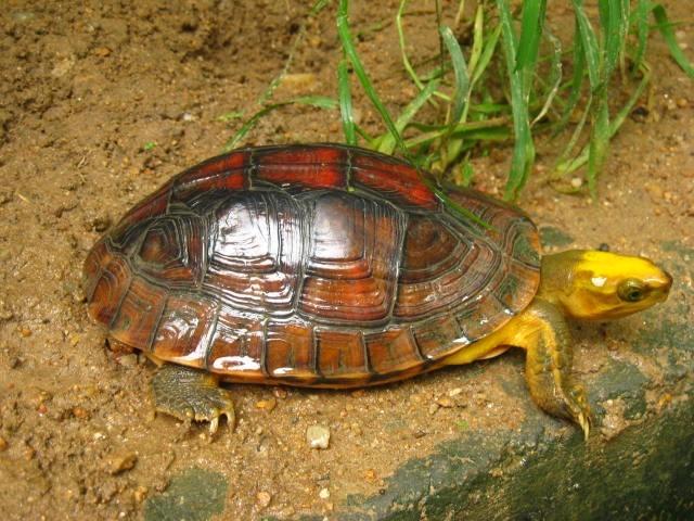 百色闭壳龟和黄缘闭壳龟哪个贵?