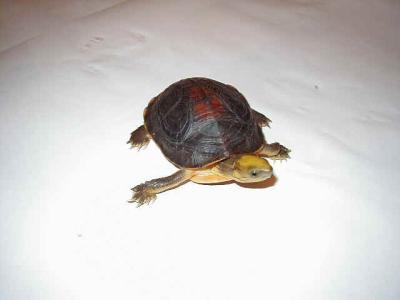 百色闭壳龟和金头闭壳龟区别