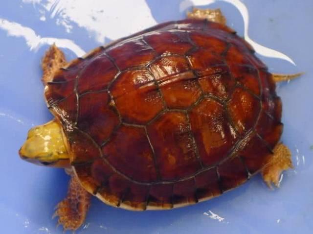 百色闭壳龟是保护动物吗
