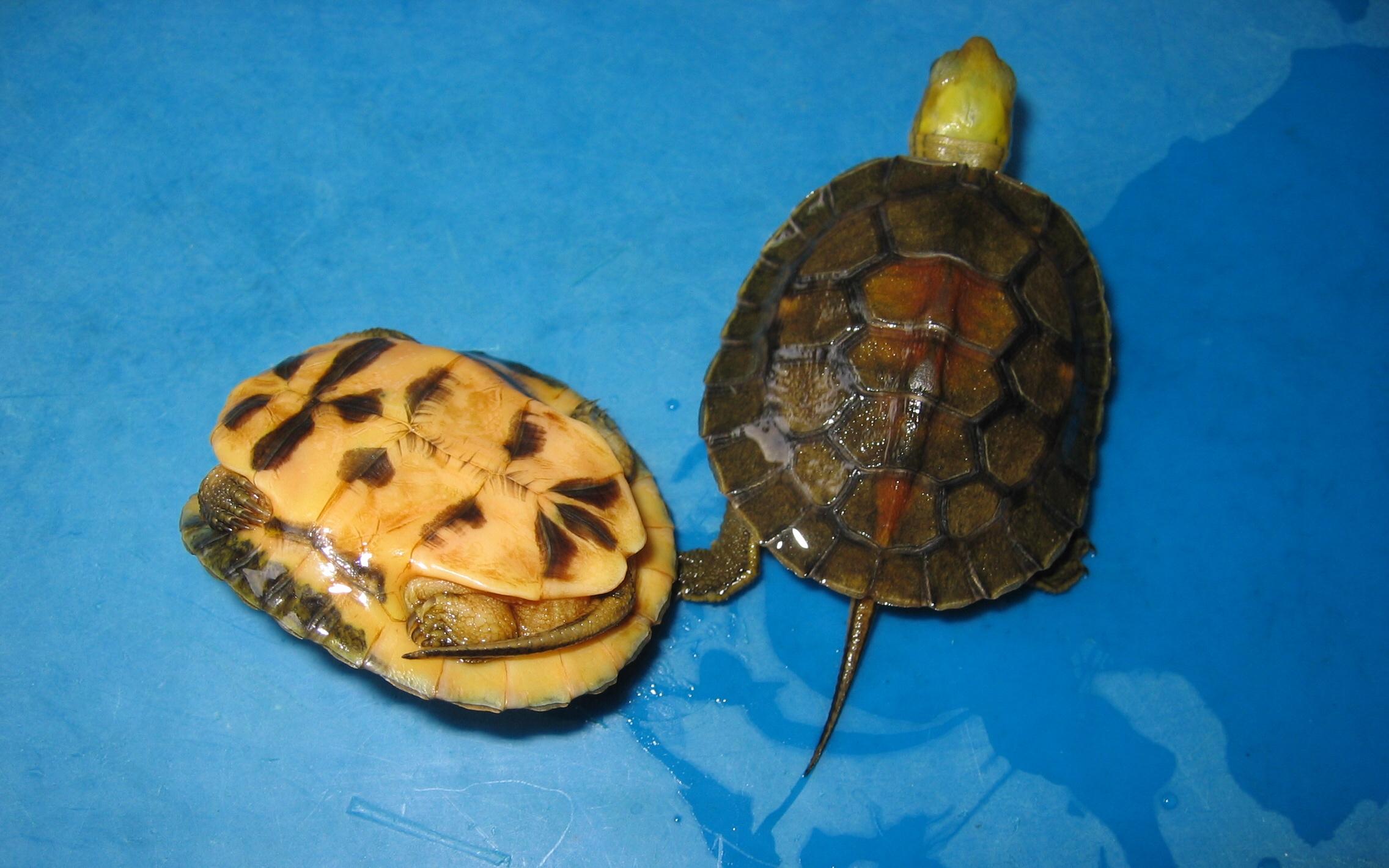 百色闭壳龟几年能繁殖 百色闭壳龟多少年成熟