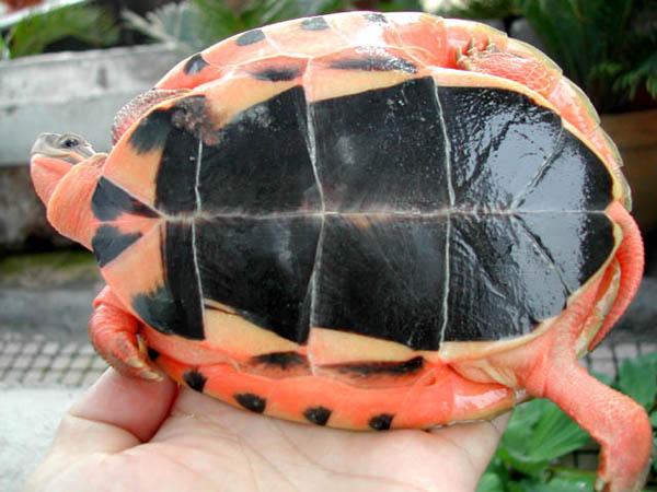 百色闭壳龟难养吗 百色闭壳龟饲养注意