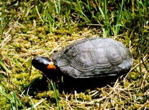 牟氏水龟最大能长多大