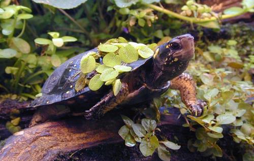 牟氏水龟为什么叫这个名字