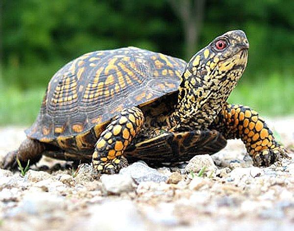 佛罗里达箱龟可以冬眠吗 佛罗里达箱龟能不能冬眠