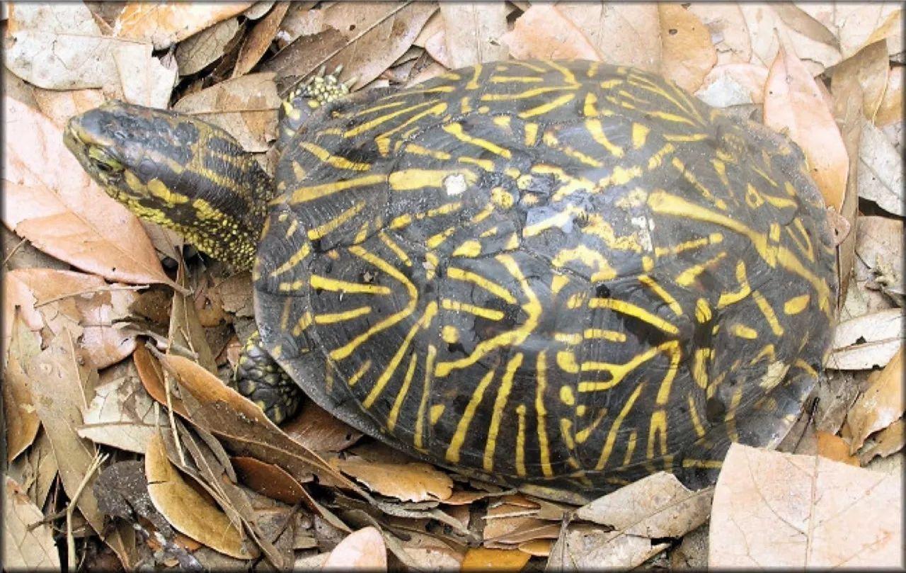 佛罗里达箱龟加温吗 佛罗里达箱龟需要加温吗