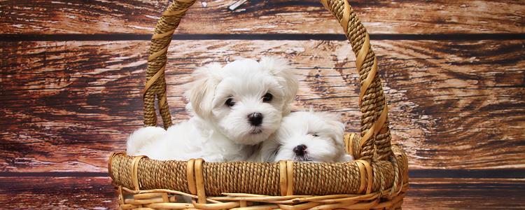 狗狗绝育手术后多久可以恢复正常