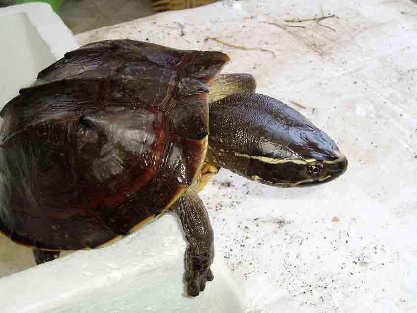 马来果龟的价格 马来果龟价格