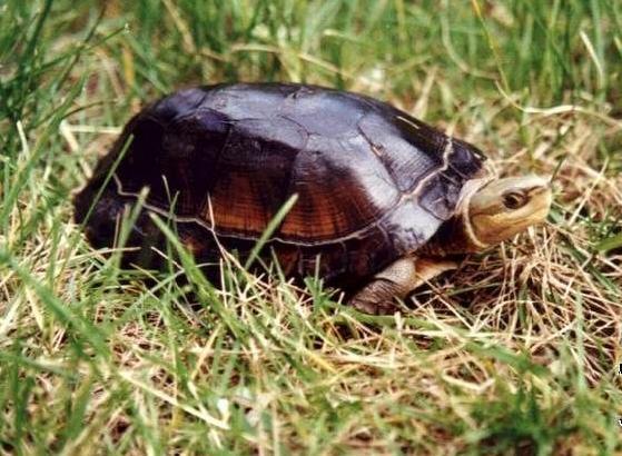 周氏闭壳龟饲养方法