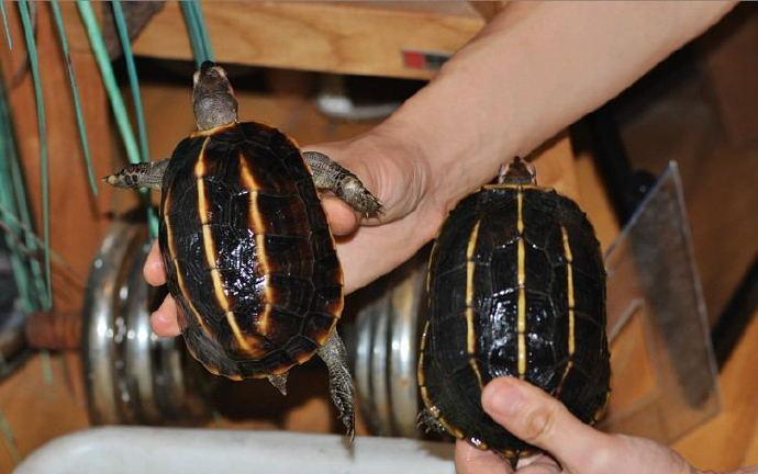 三龙骨龟怎么繁殖