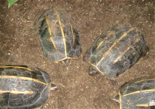 三龙骨龟哪里能买到 哪里能买到三龙骨龟