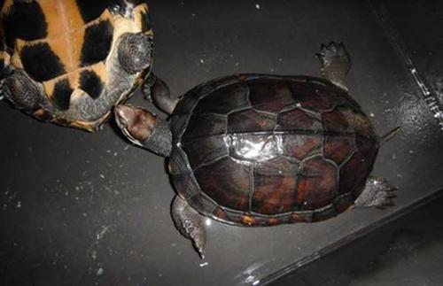 三龙骨龟寿命 三龙骨龟的寿命多长