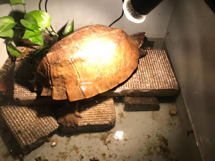 马来果龟饲养方法
