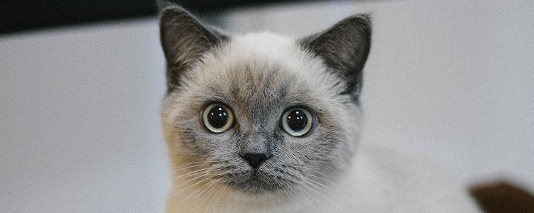 一个月的猫尿道出血