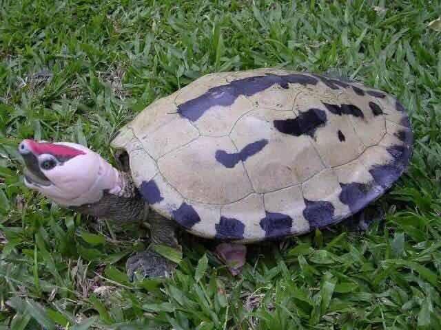 西瓜龟是水龟吗?