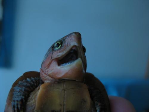 鹰咀龟公母怎么分 鹰咀龟如何辨别公母