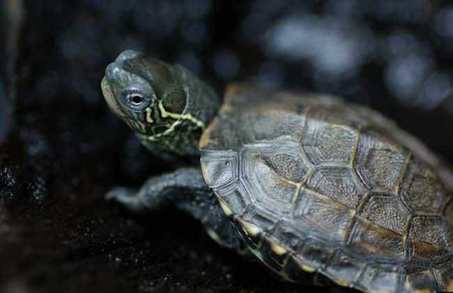 鹰咀龟的饲养要点