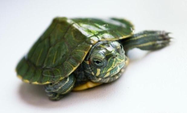 南美彩龟价格 南美彩龟的价格