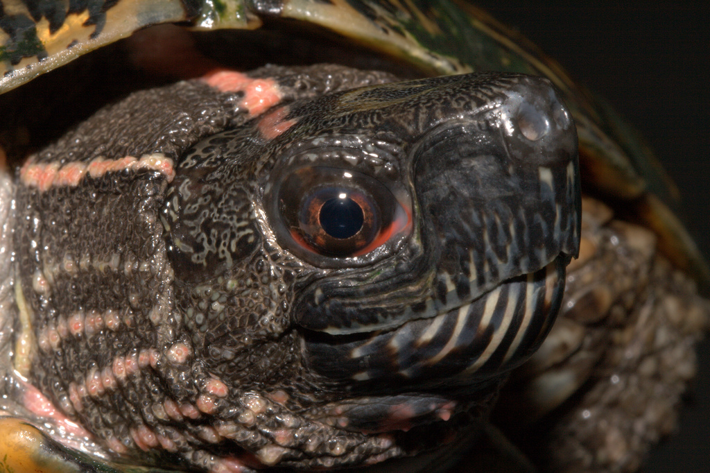 斑彩龟公母分别 斑彩龟公母分辨