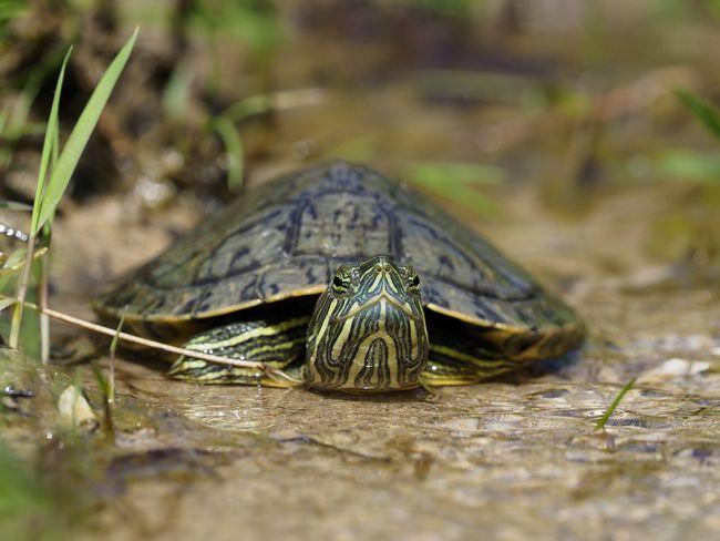 斑彩龟是巴西龟吗