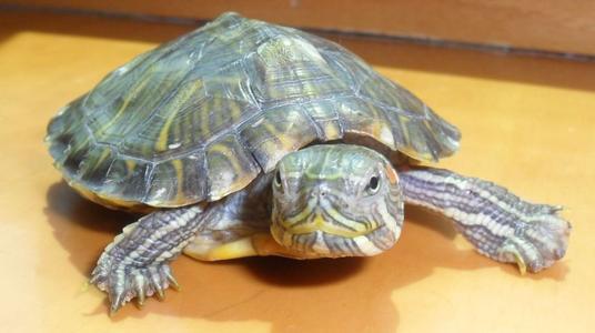 斑彩龟冬眠注意事项