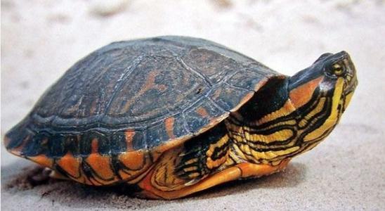 巴西斑彩龟怎么养