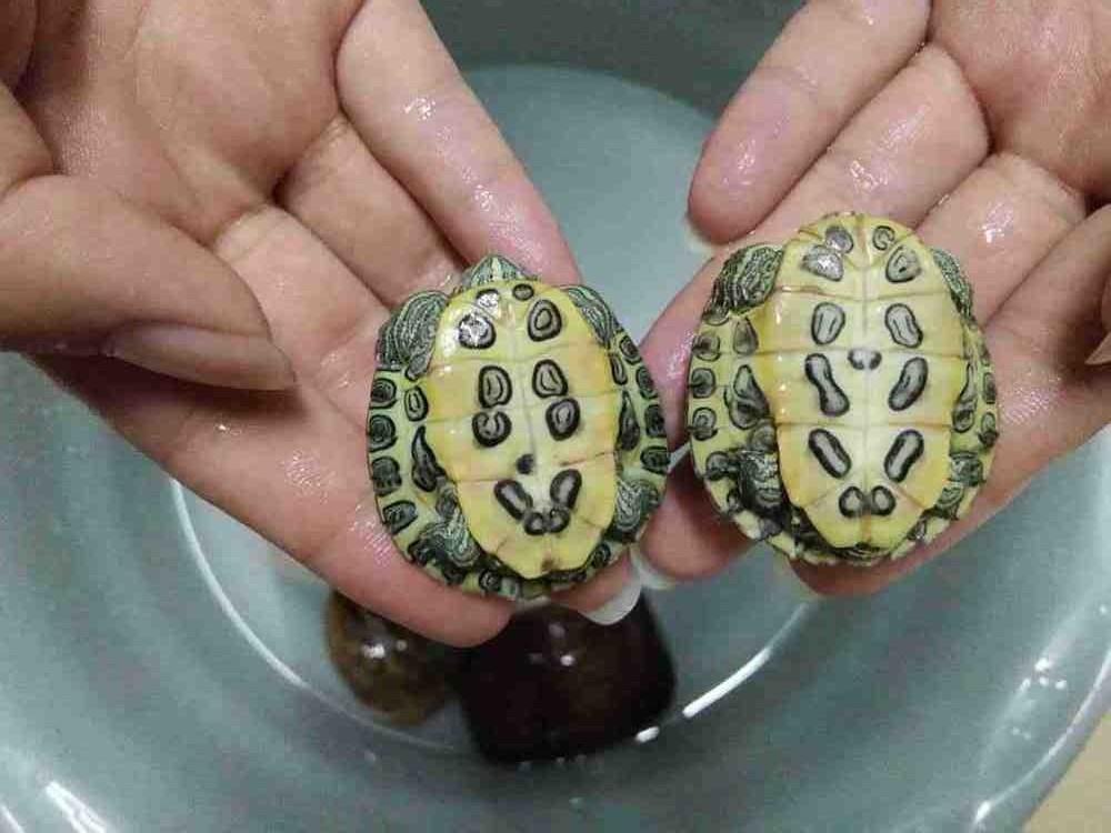 巴西斑彩龟不吃东西怎么办