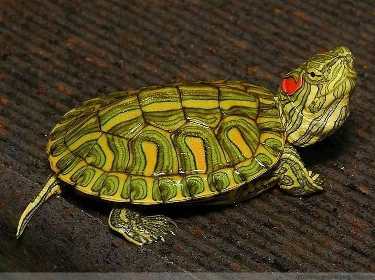 红耳龟与斑彩龟区别