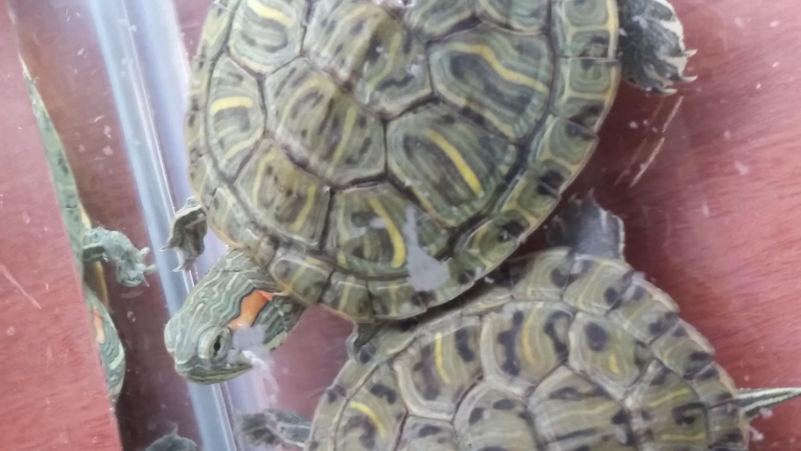斑彩龟和魔眼巴西龟区别