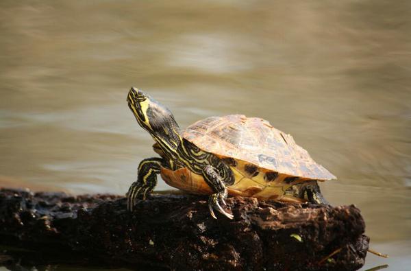 黄腹滑龟吃青菜吗