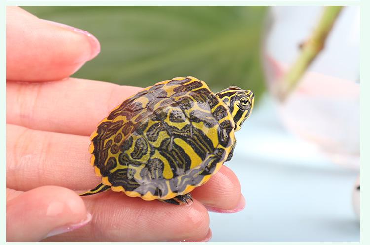 黄腹滑龟会吃鱼吗 黄腹滑龟吃鱼吗