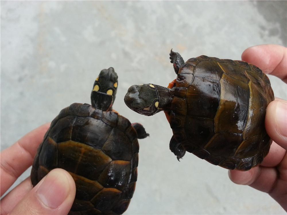 黄腹滑龟怎么喂 黄腹滑龟喜欢吃什么