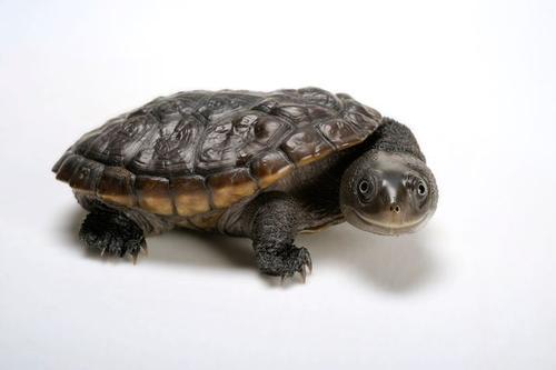 长颈龟腐皮怎么治疗 长颈龟腐甲怎么治疗