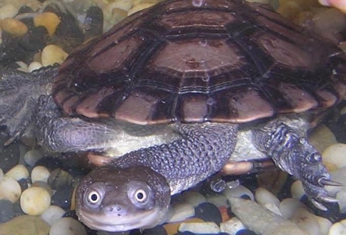 长颈龟和猪鼻龟哪个贵