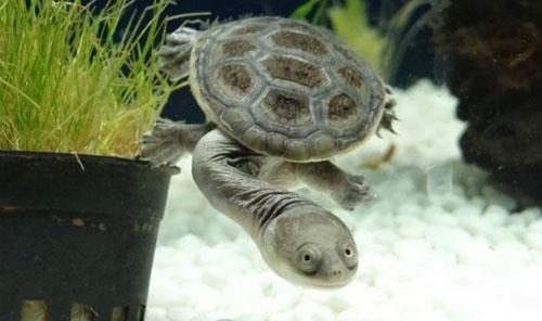 长颈龟能和鱼混养吗 长颈龟能混养吗?