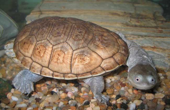 长颈龟和龙鱼能混养吗 长颈龟可以和龙鱼混养么