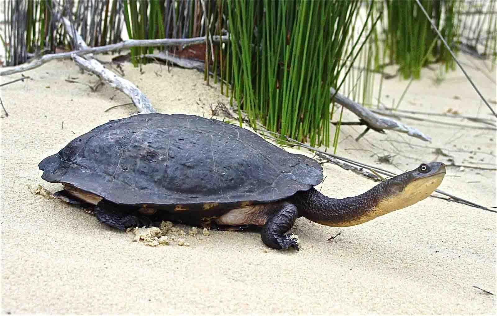 长颈龟可以和蛋龟混养吗