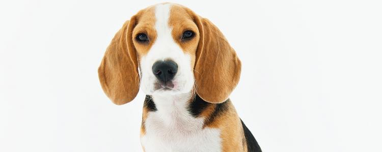 狗发烧有什么表现