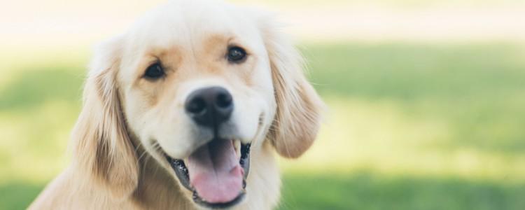 狗狗打架眼白充血能自愈吗