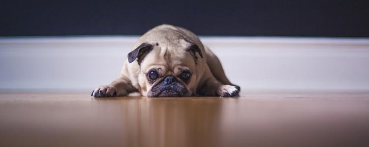 两个月的小狗冠状能治好吗