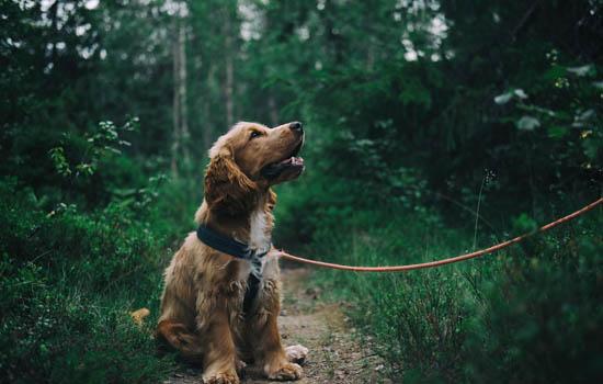怎么训练可卡犬在外大小便