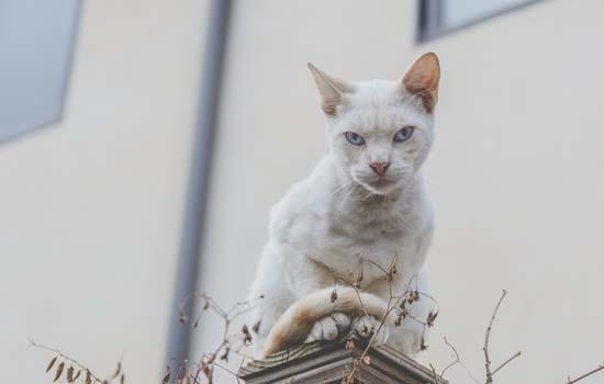 蓝猫怀宝宝多久可以生