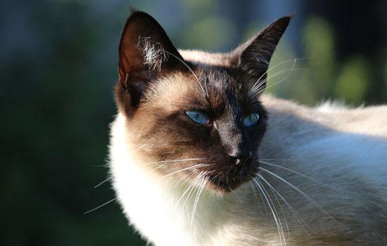 小暹罗猫几个月变色