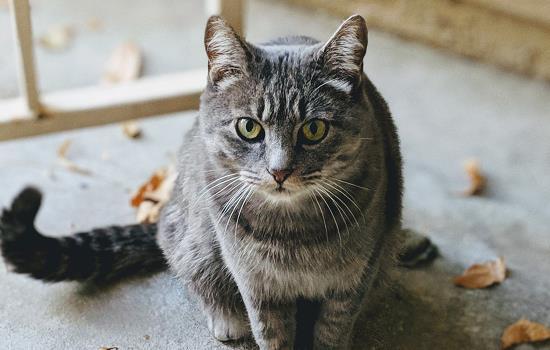 猫的毛球性胃炎症状