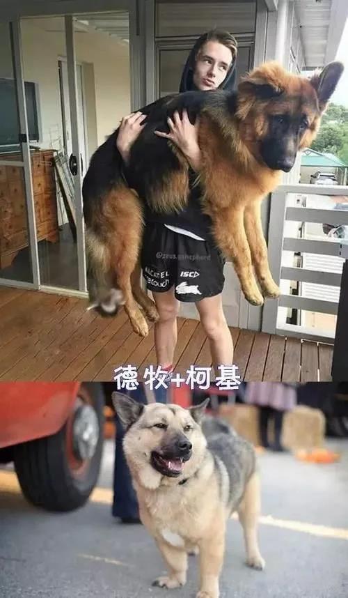 千万不要让你家狗跟着柯基混!